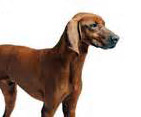 red coonhound hunting hound dog
