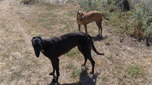 sight hounds greyhound