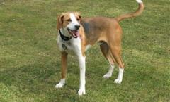 ENGLISH foxhound - Scent hound - hunting DOG specialist