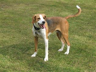 English foxhound hunting dog