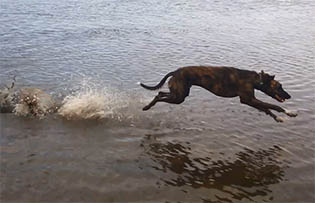 Lurcher dog at full speed running