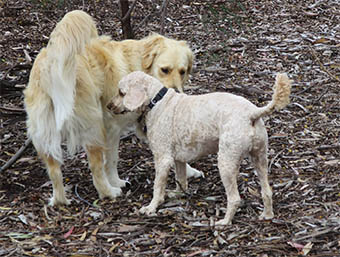 two bird dogs cocker and golden retriever