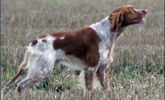 THE brittany spaniel BIRD DOG, gun dog, water dog hunt skills