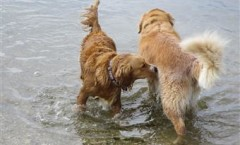 Golden retriever BIRD DOG, gun dog, water dog hunting skills