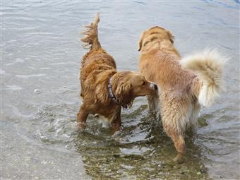 golden retrievers front and back