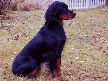 Gorden Setter Hunting dog