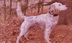 English Setter gun dog, water dog hunting skills