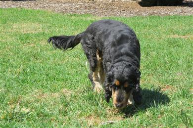 english Cocker Spaniel hunting dog