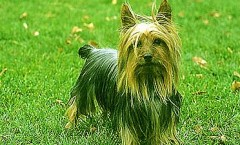 Silky Terriers  are a non shedding dog with hunting dog roots