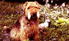 Welsh terriers are a non shedding dog and are a fearsome small hunting dog