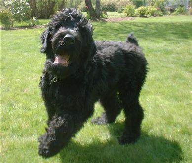 The Black Russian Terrier Beats All Other Terriers For