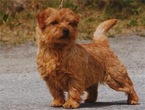 norfolk_terrier hunting dog