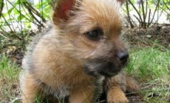norwich terrier hunting dog