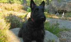 scottish terrier hunting dog