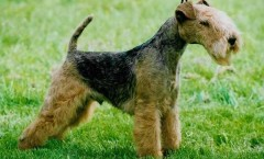 The lakeland terrier dog hunting dog bio