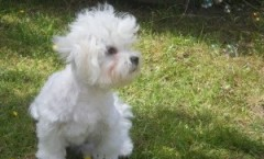 Maltese terrier hunting dog bio