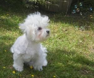 maltese terrier hunting dog