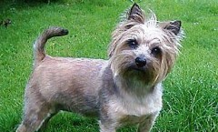 Cairn Terrier an old dog with strong hunting instincts