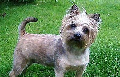 Cairn Terrier An Old Dog With Strong Hunting Instincts Black Dog Outfitters
