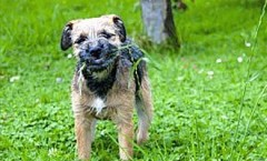Border terrier hunting dog that is close to its roots