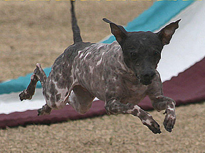 american hairless dog