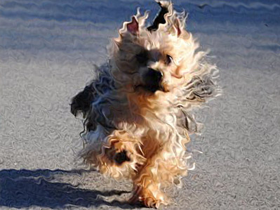 AustralianSilky_terrier dog