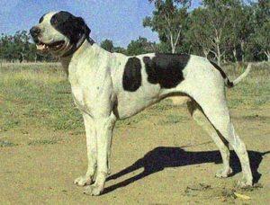 bull-arab