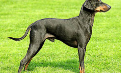 manchester-terrier hunting dog