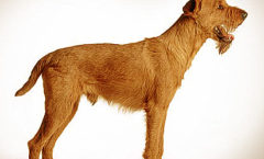Irish Terrier, Hunting dog skills