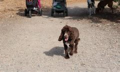 """Main reasons for choosing """"setters"""" group of dogs as hunting dogs"""