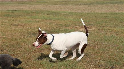 bull arab hunting dog