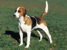 American foxhound hunting dog