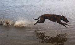 Lurcher Definition: Hunting dogs | hounddog | Scent Hound
