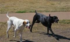 POINTERS - Gun Dog Breed, Hunting dog
