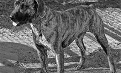 """THE CUR DOG breed """"type"""" a great American Hunting dog"""