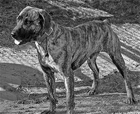 cur dog standing