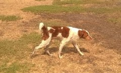 SETTERS definition | Gun dogs  Hunting dogs