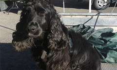 Gun dogs  FLUSHING SPANIELS definition Hunting dogs
