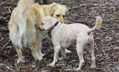 BIRD dogs Definition as Gun dogs / Sporting Dogs/ Hunting dogs
