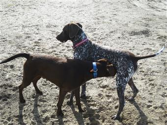 two pointer hunting dogs