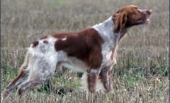 THE brittany spaniel BIRD DOG, gun dog, water dog hunt skills