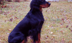 Gordon Setter BIRD DOG, gun dog, water dog hunting skills