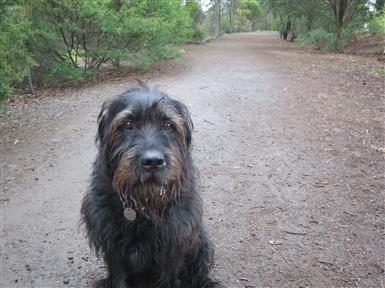 Black German Hunting Dog