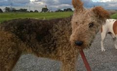 Airedale TERRIER hunting dog breeds as hunters and pets