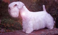Sealyham Terrier  dog hunting skills