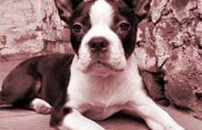 The boston terrier comes from great fighting and hunting stock