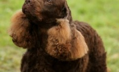 American Water Spaniel -   Supreme wetland retriever hunting dog