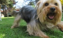 Yorkshire terrier dog hunters extraordinary