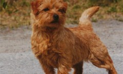 Norfolk terrier & Norwich Terriers BIO
