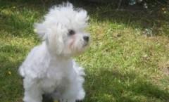 Maltese terrier hunting dog bio